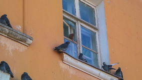 Fighting the pigeons on the window stock video footage