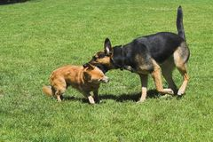 Fighting/playing dogs. Shepherd and small dog are fighting. The large dog has his mouth over the neck of the small dog Royalty Free Stock Photo
