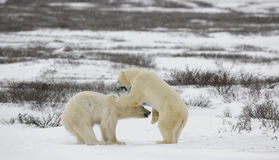 Fighting polar bears. Royalty Free Stock Image