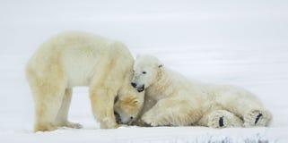 Free Fighting Polar Bears (Ursus Maritimus ) On The Snow. Royalty Free Stock Image - 63416266