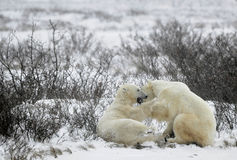 Free Fighting Polar Bears (Ursus Maritimus ) On The Snow Stock Photo - 65392380