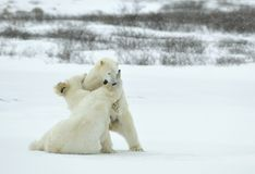 Fighting Polar bears (Ursus maritimus ) on the snow. Arctic tundra Stock Image