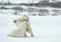 Fighting Polar bears (Ursus maritimus ) on the snow. Stock Image
