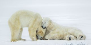 Fighting Polar bears (Ursus maritimus ) on the snow. Royalty Free Stock Image