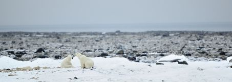 Fighting Polar bears (Ursus maritimus ) on the snow. Royalty Free Stock Images