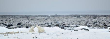 Fighting Polar bears (Ursus maritimus ) on the snow. Royalty Free Stock Images