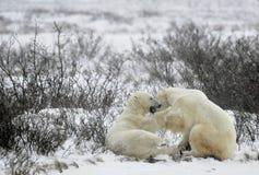 Fighting Polar bears (Ursus maritimus ) on the snow Stock Photo