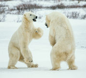 Fighting Polar bears (Ursus maritimus ) on the snow. Royalty Free Stock Photos