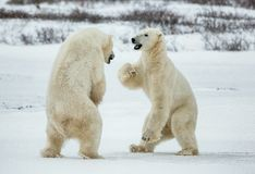 Fighting Polar bears (Ursus maritimus ) on the snow. Arctic tundra. Two polar bears play fighting. Polar bears fighting on snow h Stock Photos