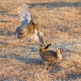 Fighting Prairie Chickens Stock Photo
