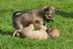 Fighting puppies. Small chihuahua puppies playing and fighting on grass stock images
