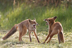 Fighting red foxes royalty free stock image