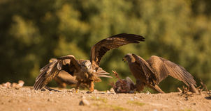 Fighting Red Kite and Black Kite Stock Photography