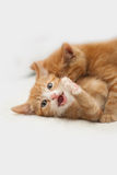 Fighting red kittens. On isolated background Stock Image