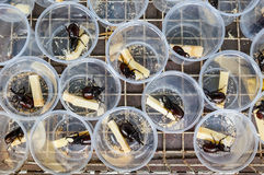 Fighting Rhinoceros Beetle for sale. In the marketplace, Chiang Mai,Thailand Stock Photography