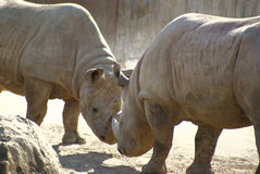 Fighting rhinos Royalty Free Stock Photography