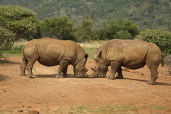 Fighting Rhinos, South Africa Royalty Free Stock Photos