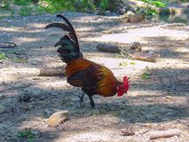 Fighting rooster in a garden Royalty Free Stock Photo
