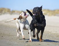 Fighting dogs on the beach. Fighting rottweiler and boxer on the beach Stock Photo