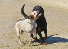 Fighting dogs on the beach. Fighting rottweiler and boxer on the beach Royalty Free Stock Photography