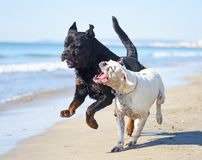 Fighting dogs on the beach. Fighting rottweiler and boxer on the beach Royalty Free Stock Images