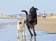 Fighting dogs on the beach. Fighting rottweiler and boxer on the beach Stock Photography