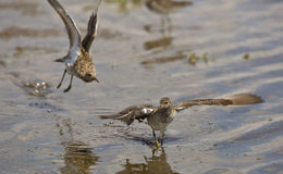 Fighting Ruffs (Philomachus pugnax). Two ruffs are fighting on a pond Royalty Free Stock Images