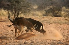 Fighting sable antelopes Royalty Free Stock Photo