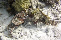 Fighting Scorpion Fish. Two Scorpion fish fighting on a tropical reef royalty free stock photos