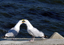 Fighting seagulls Stock Photography