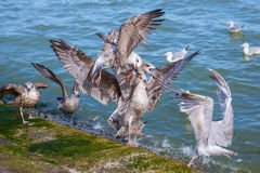 Fighting seagulls Royalty Free Stock Photo