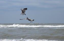 Fighting seagulls Stock Photos