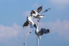 Fighting of seagulls Stock Photography