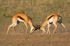 Fighting Springbok. Two male springbok antelopes (Antidorcas marsupialis) fighting for territory, Kalahari desert, South Africa Stock Photos