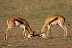 Fighting Springbok Royalty Free Stock Photo