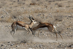 Fighting Springbok royalty free stock images