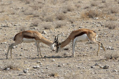 Fighting Springbok Royalty Free Stock Photography