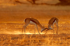Fighting springbok antelopes royalty free stock images