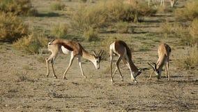 Fighting springbok antelopes Stock Photos
