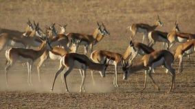 Fighting springbok antelopes stock video footage