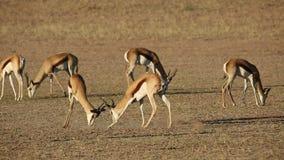 Fighting springbok antelopes stock footage