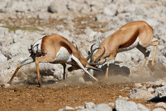Fighting springbok antelopes. Two male springbok antelopes Antidorcas marsupialis fighting, Etosha National Park, Namibia Royalty Free Stock Image