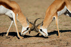 Fighting springbok antelopes. Two male springbok antelopes (Antidorcas marsupialis) fighting for territory, Kalahari desert, South Africa Royalty Free Stock Photos