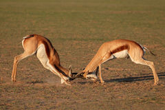 Fighting Springbok antelopes. Two male springbok antelopes (Antidorcas marsupialis) fighting for territory, Kalahari desert, South Africa Stock Photo