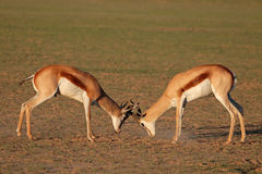 Fighting Springbok antelopes. Two male springbok antelopes (Antidorcas marsupialis) fighting for territory, Kalahari desert, South Africa Stock Image