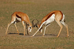 Fighting Springbuck Royalty Free Stock Photo