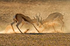 Fighting Springbuck Royalty Free Stock Image
