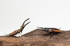 Fighting of Stag Beetle Stock Image