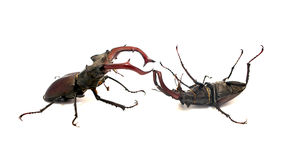 Fighting stag beetles Royalty Free Stock Photography