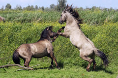 Fighting stallion Royalty Free Stock Photo